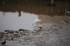 Egret feeding Stock Photo