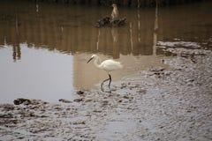 Egret feeding Stock Photography