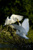 Egret feeding chick Stock Photos