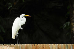 Egret on a Fence Royalty Free Stock Photography