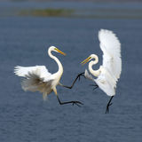 Egret Fighting Stock Image