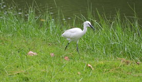Egret. Is find victims riverside Royalty Free Stock Photography