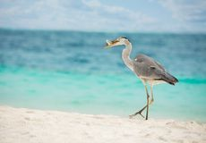 Egret with fish in beak Royalty Free Stock Photo