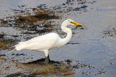 Egret with a Fish Stock Image