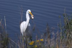 Egret Fishing Royalty Free Stock Photos