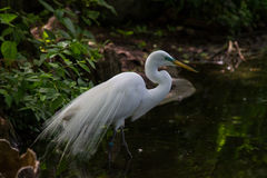 Egret fishing against dark background. Egret fishing against the dark background of a pond Stock Photo