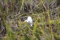 Egret fishing in Carolina. Egret in Carolina in Tidal backwaters Stock Photo