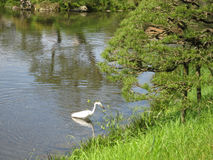Large White Bird (Egret) Fishing in High Grass Stock Photography