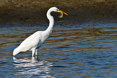 Egret Fishing for Dinner Stock Photos