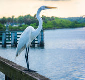 Egret on a fishing pier in Miami, Florida. Royalty Free Stock Image