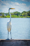 Egret on a fishing pier in Miami, Florida. Royalty Free Stock Photography