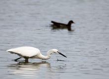 Egret fishing stock photography