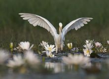 Egret in water lily pond. Egret fishing in water lily pond royalty free stock photo
