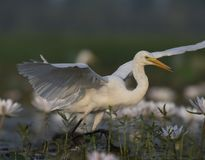 Egret in water lily pond. Egret fishing in water lily pond royalty free stock photos