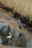 Egret fissile Fotografie Stock Libere da Diritti