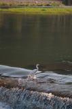 Egret in fiume Fotografia Stock