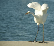 Egret flapping its wings. Great egret standing at the end of a dock and flapping its wings Royalty Free Stock Photo