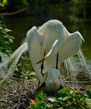 Egret with fledgling preening Stock Photography