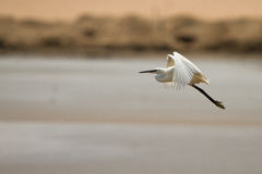 Egret in flight. Great white egret in flight, Walvis Bay, Namibia stock images