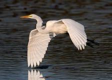 Egret in flight Stock Images