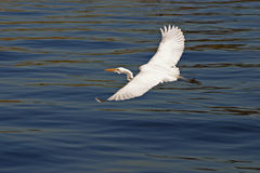 Egret in Flight #3 Royalty Free Stock Photo