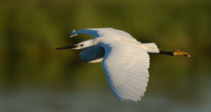 Egret in flight Royalty Free Stock Photo