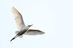 Egret in flight Stock Photo