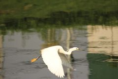 Egret is on a flight. Calm waters in the eveing. Bird perhaps getting back to the place to stay. Its stock photos