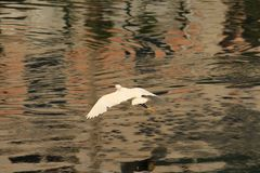 Egret is on a flight. Calm waters in the eveing. Bird perhaps getting back to the place to stay. Its stock photography