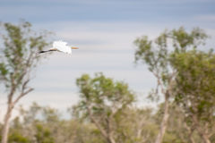A Egret in flight at Corroboree Billabong in Northern Territory, Australia Royalty Free Stock Photography