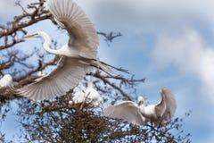 Egret in flight Royalty Free Stock Image