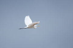 Egret in flight. Egret landing on a tree in river Royalty Free Stock Photos