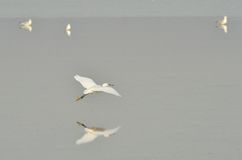 Egret in flight Royalty Free Stock Images
