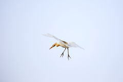 Egret in flight Royalty Free Stock Photos