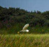 Egret in flight. White egret flying over coastal salt marsh in Lincolnshire Stock Photo