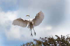 Egret in flight, wings outspread Stock Photo