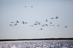 Egret flock flying over a delta Stock Images