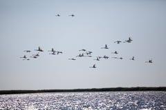 Egret flock flying over a delta stock images