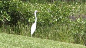 egret florida большой сток-видео