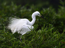 The Egret is Fluffing out its Feathers Royalty Free Stock Images