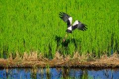 ฺEgret fly in the field Stock Image