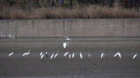 Egret fly stock video