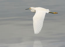Egret Flying Royalty Free Stock Image