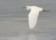 Free Egret Flying Royalty Free Stock Image - 15298006