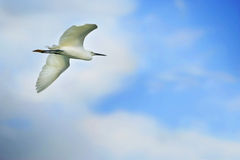 Egret flying. An egret in flight with wings spread against a blue sky Royalty Free Stock Images