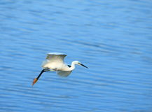 Egret Flying Royalty Free Stock Photos
