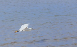 Egret flying over beach and waves, ocean and blue sky. Royalty Free Stock Photos