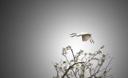 Egret. Flying over a tree against the dark sky Royalty Free Stock Photos