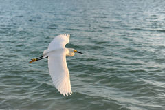 Egret Flying Over Water Stock Image