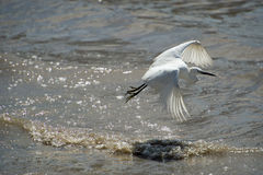 Egret flying over water. An white Egret flying over water Royalty Free Stock Image